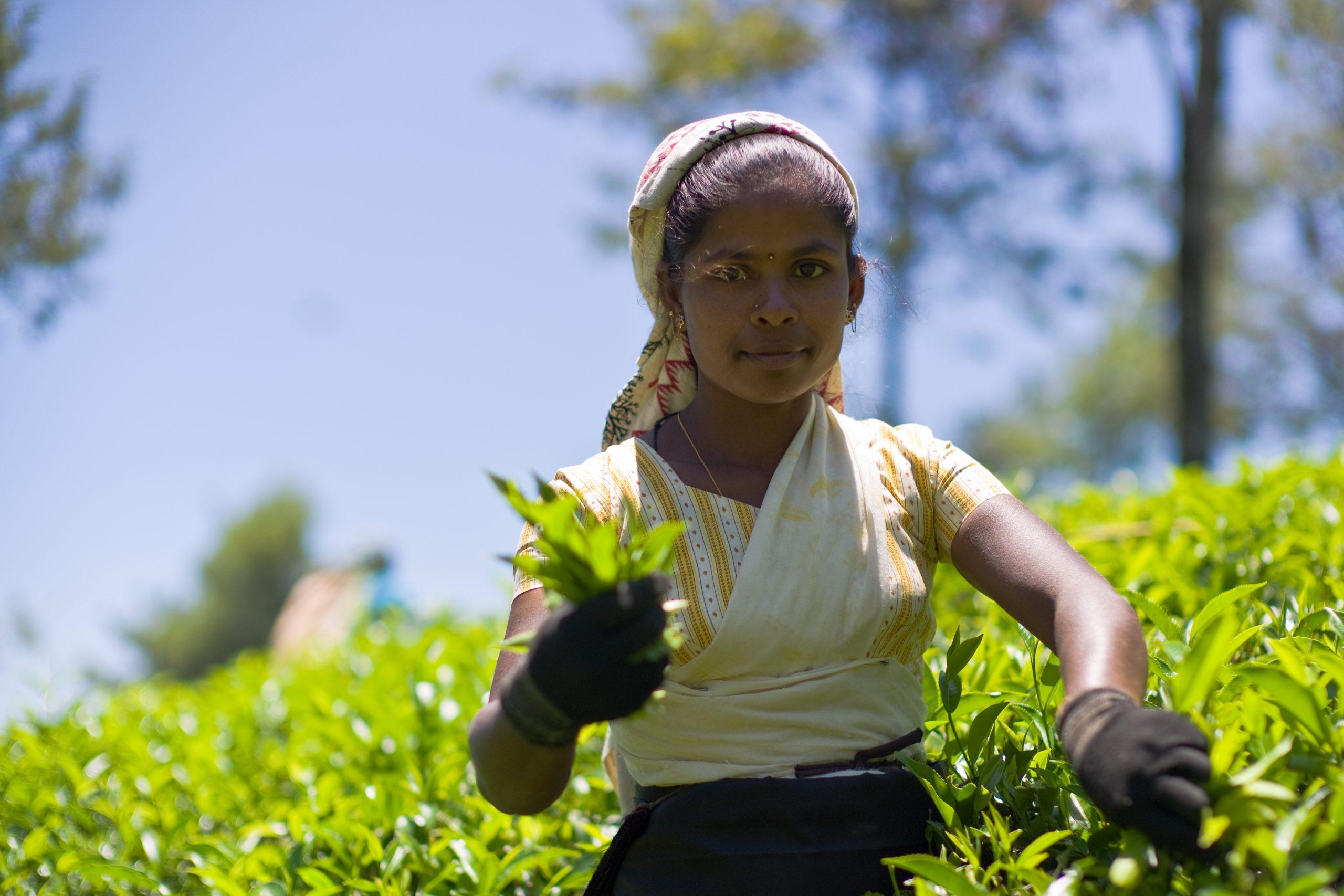 Dilmah przeciwdziała ubóstwu na Sri Lance