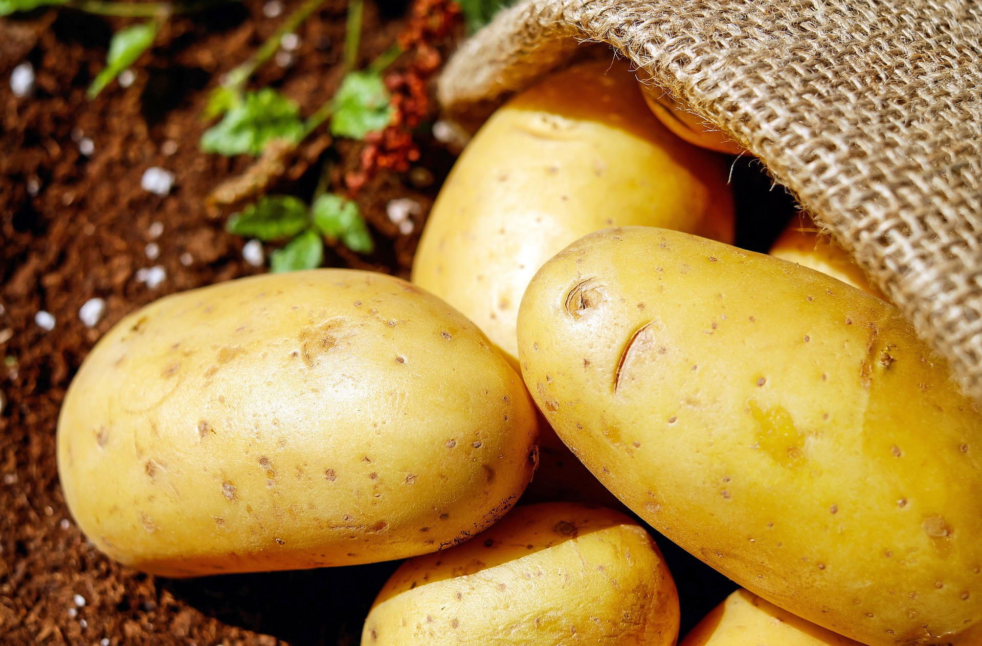 Wyższa produkcja ziemniaków w krajach Europy zachodniej