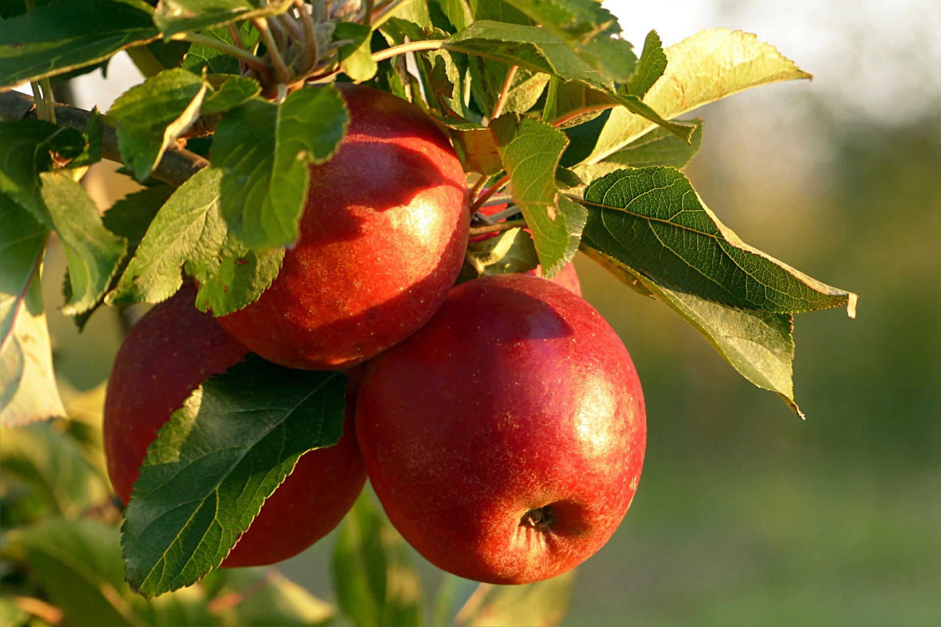 Polskie jabłka pojadą do Kolumbii