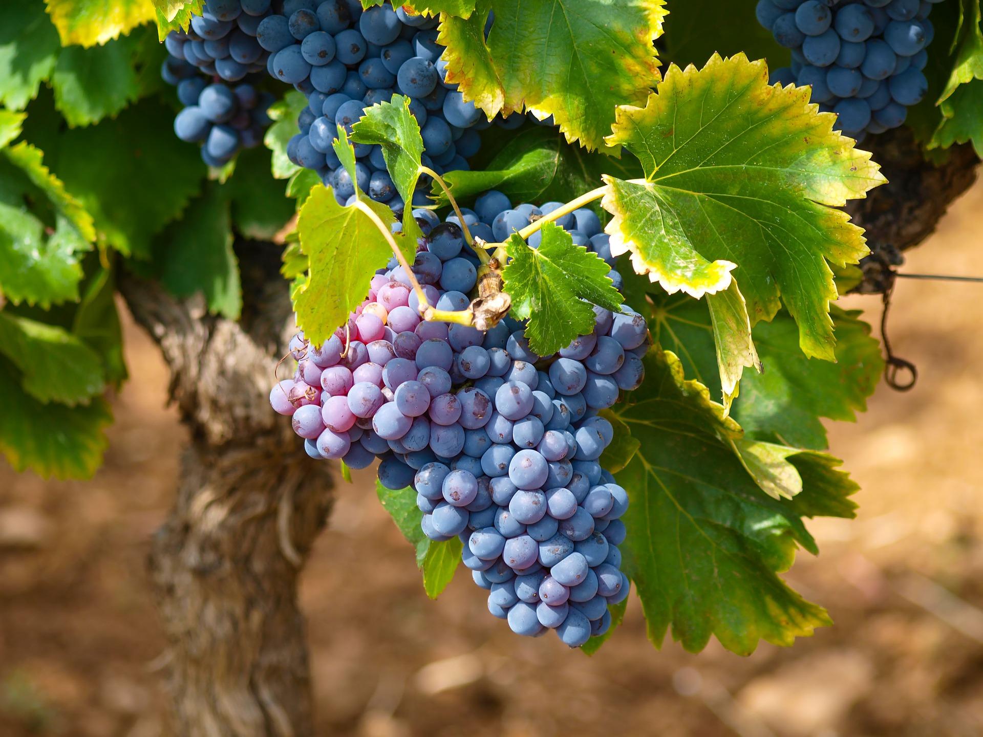 Popyt na polskie wina przewyższa podaż