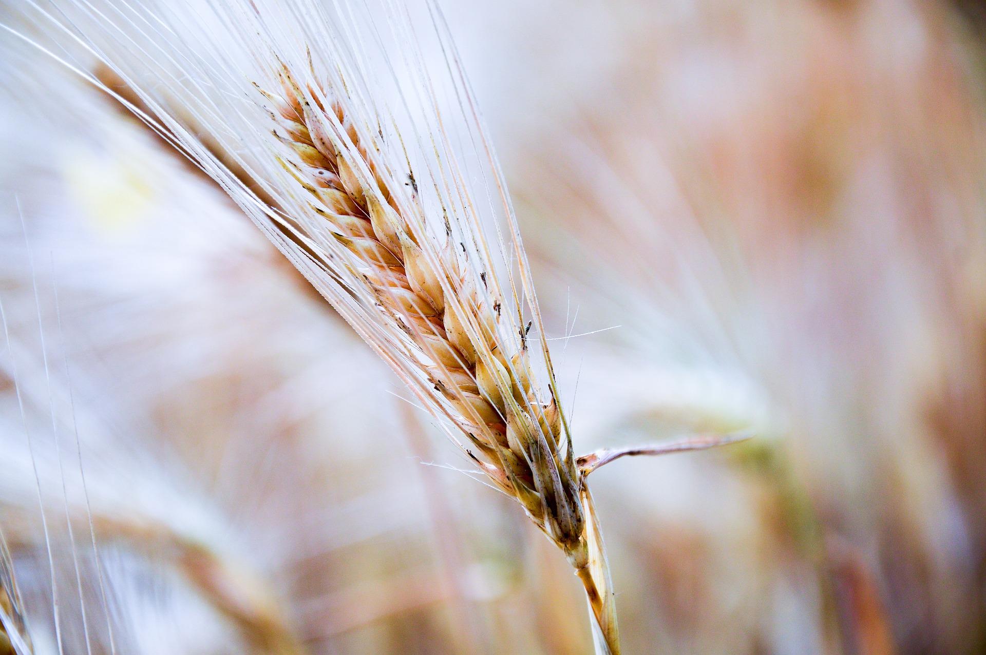 Kolejne kwartały przyniosą łagodny wzrost cen zbóż