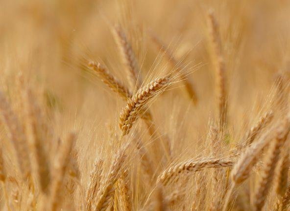 Perspektywy dla silnego wzrostu cen zbóż pozostają ograniczone