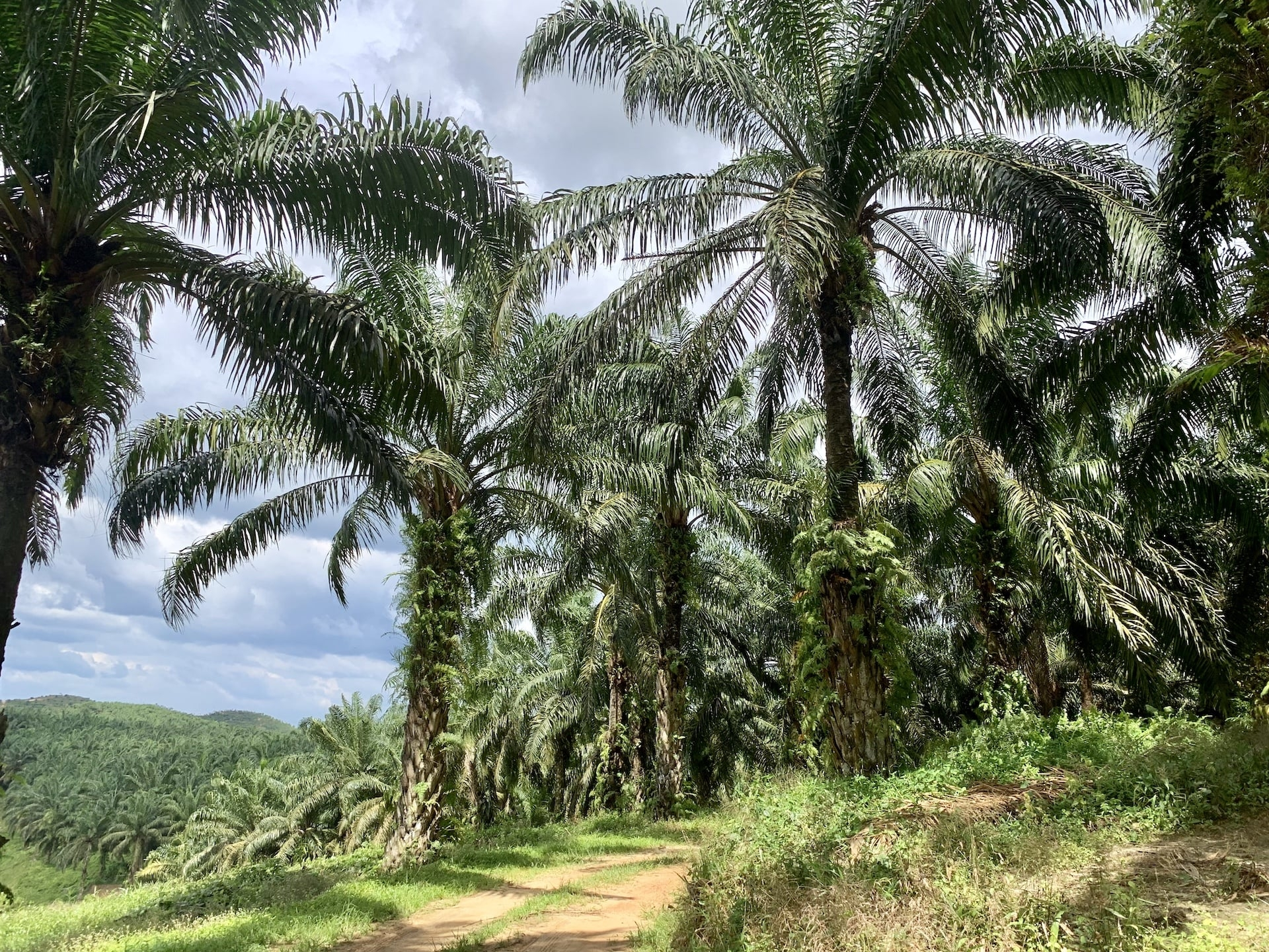 """Mars """"Palm Positive Plan""""– pozyskiwanie oleju palmowego bez wylesiania"""